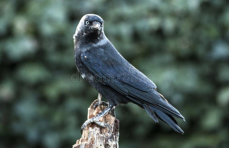 Grajo, frugilegus del Corvus Un pájaro negro grande fotografía de archivo libre de regalías