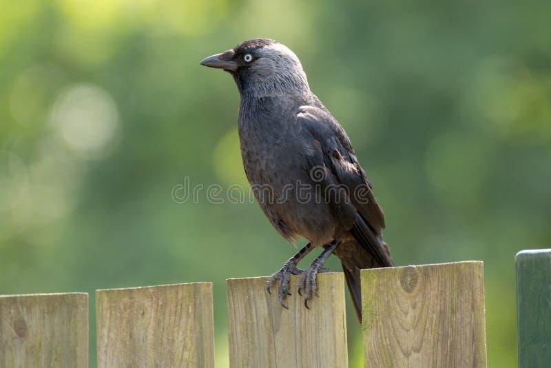 Grajo occidental adulto de la familia del cuervo que se sienta en la cerca de madera c fotos de archivo