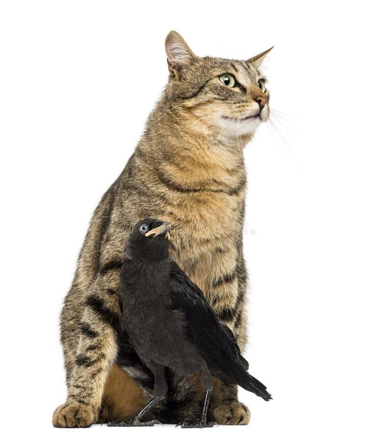 Grajo occidental en las piernas de un gato, aisladas fotografía de archivo libre de regalías