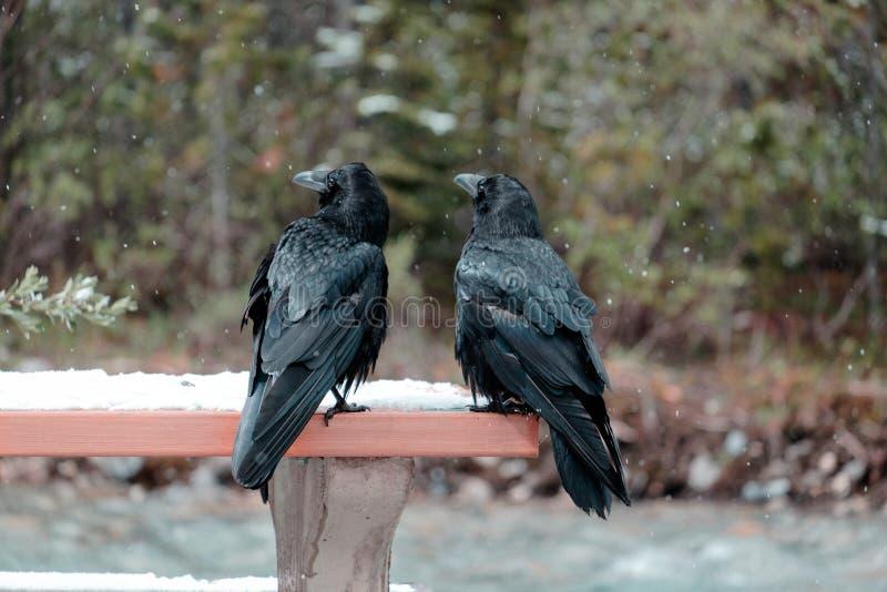 Grajos grandes en el parque nacional de Banff fotografía de archivo libre de regalías