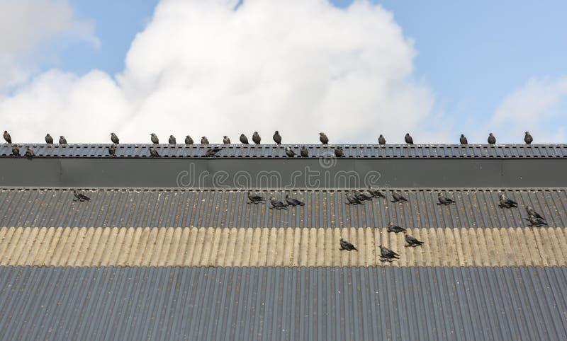 Grajos occidentales en el tejado fotos de archivo