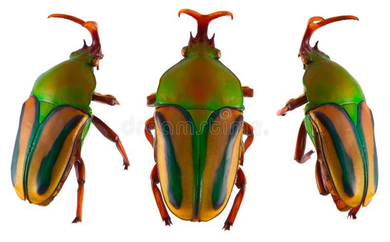 Gralli colorido de Eudicella do besouro do escaravelho isolado foto de stock royalty free