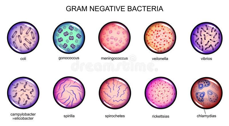Gram - negativa bakterier vektor illustrationer