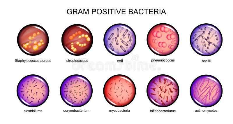 Gram - positiva bakterier stock illustrationer