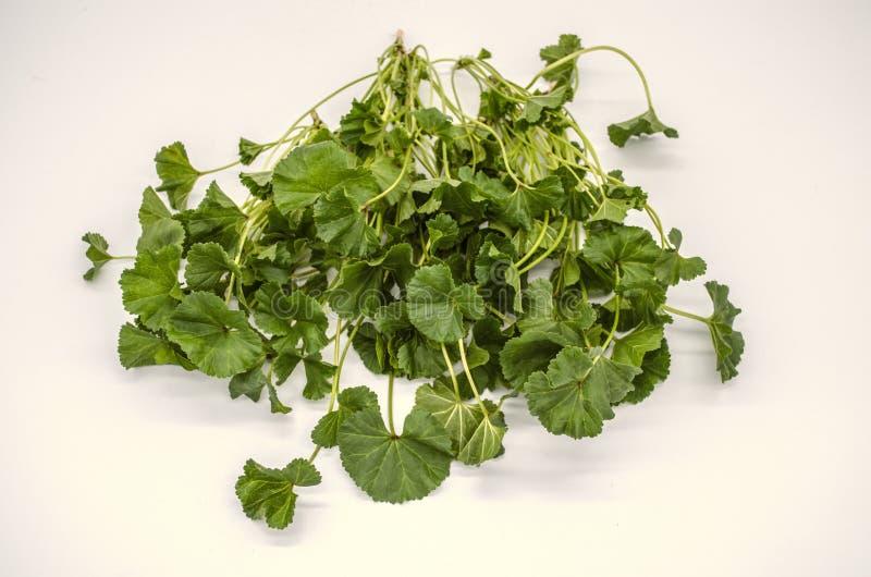 Grama adiantada Malva Armenian da mola usada nas saladas e as sopas e indústria médica imagens de stock