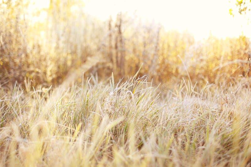 Grama amarela bonita em um campo em uma luz ensolarada do sol da manhã fotografia de stock royalty free