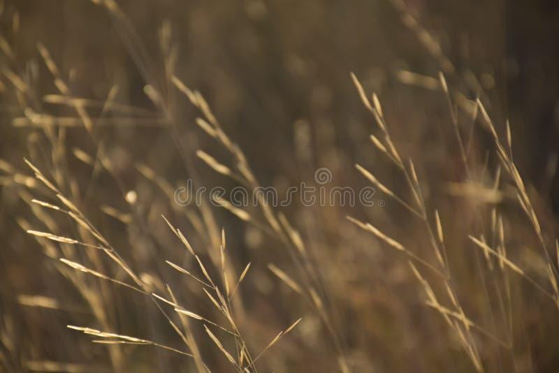 A grama amarela seca na luz solar no sumário marrom borrou o fundo da natureza fotos de stock royalty free