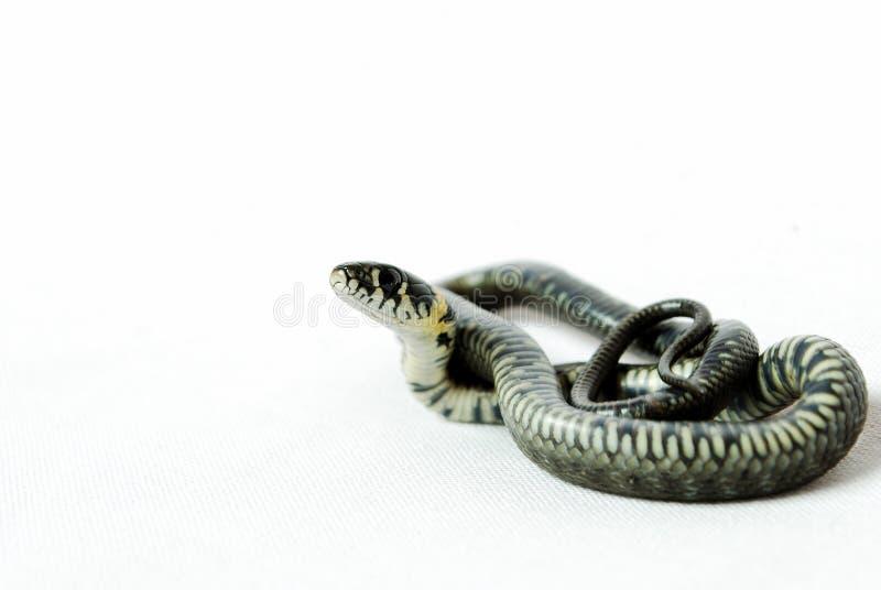 Grama da serpente imagens de stock royalty free
