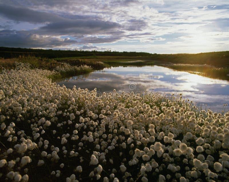 Grama de algodão de Alaska fotos de stock