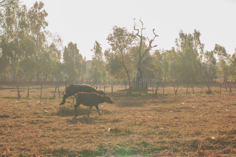 Grama de búfalo, jardim central complicado no alvorecer Um colo dourado claro fotografia de stock