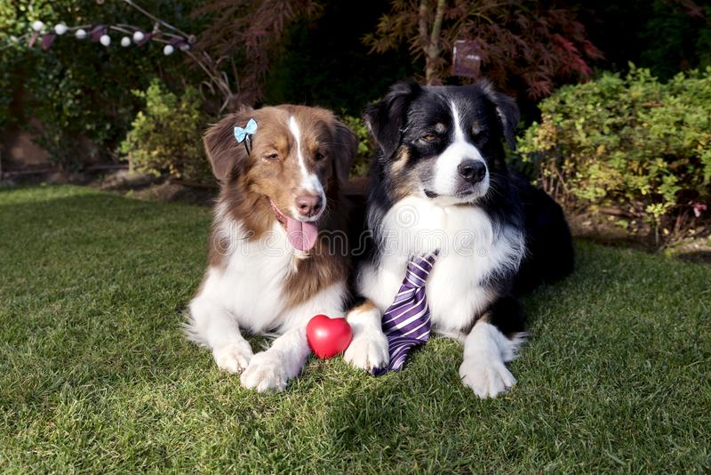 A grama de cães do amor dos pares que coloca o dia de Valentim feliz comemora o jardim conceptual engraçado fotos de stock