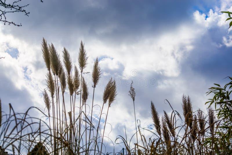 Grama de florescência alta com um céu azul e nuvens, natureza e fundo da agricultura fotografia de stock royalty free