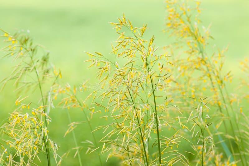 Grama de florescência no close up do prado imagens de stock