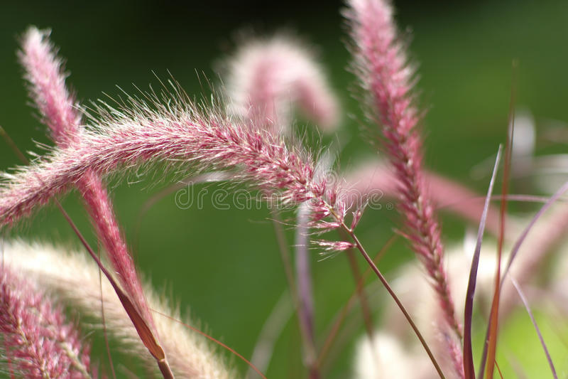 Grama de fonte roxa (setaceum do Pennisetum) fotos de stock royalty free