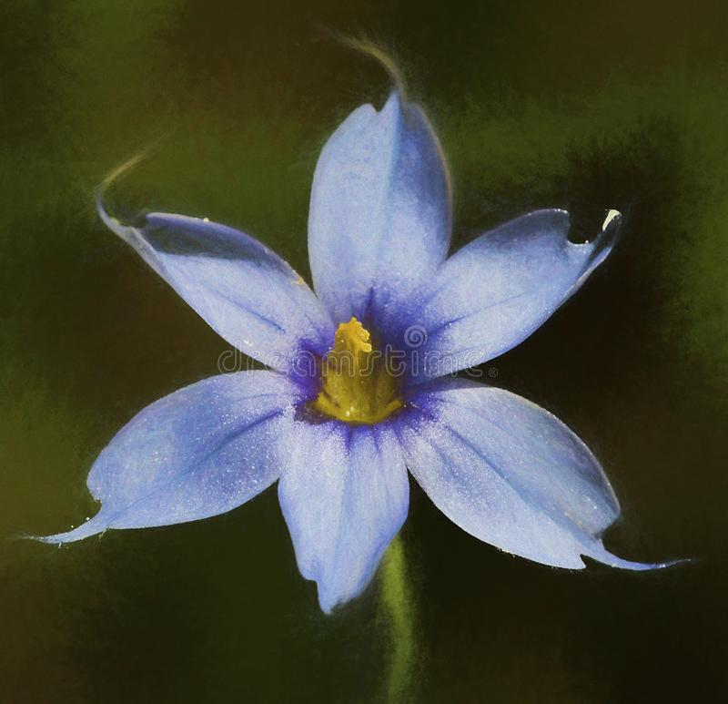 Grama de olhos azuis de Narrowleaf - angustifolium do Sisyrinchium fotos de stock royalty free