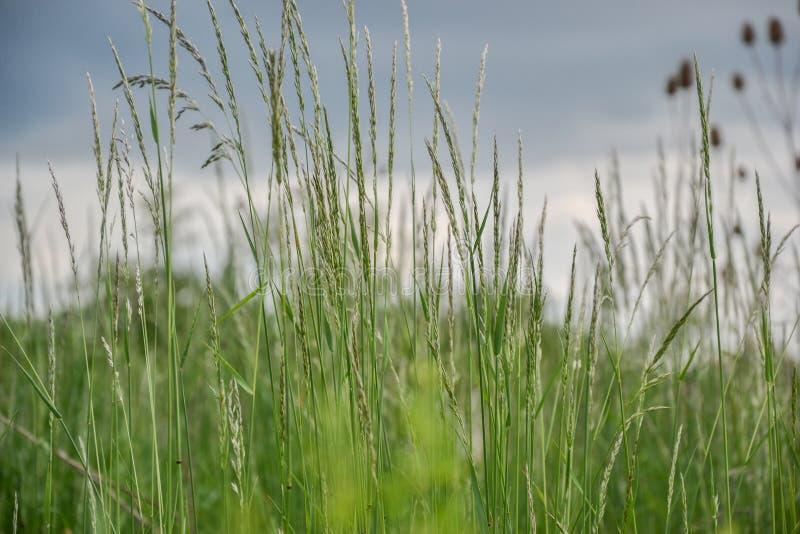 Grama de prado O vento de sopro dobra as lâminas de grama no campo foto de stock