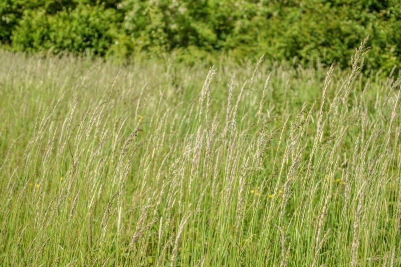 Grama de prado O vento de sopro dobra as lâminas de grama no campo imagens de stock royalty free
