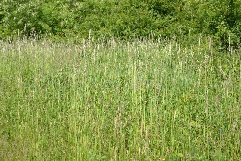Grama de prado O vento de sopro dobra as lâminas de grama no campo imagem de stock