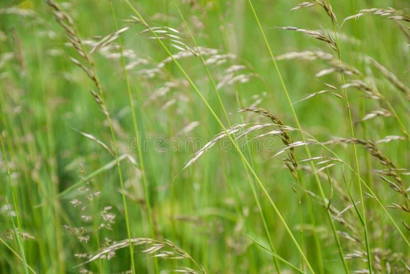 Grama de prado O vento de sopro dobra as lâminas de grama no campo foto de stock royalty free