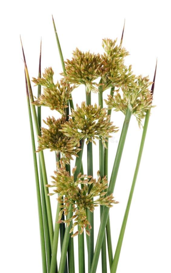 Grama de prado verde afiada com grupo amarelo das sementes foto de stock