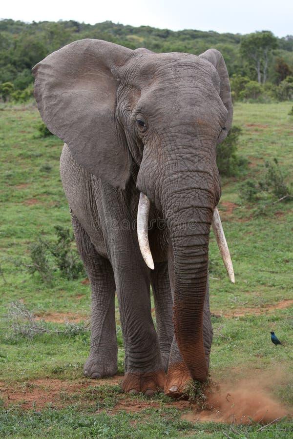 Grama de raspagem do elefante africano junto a comer imagens de stock
