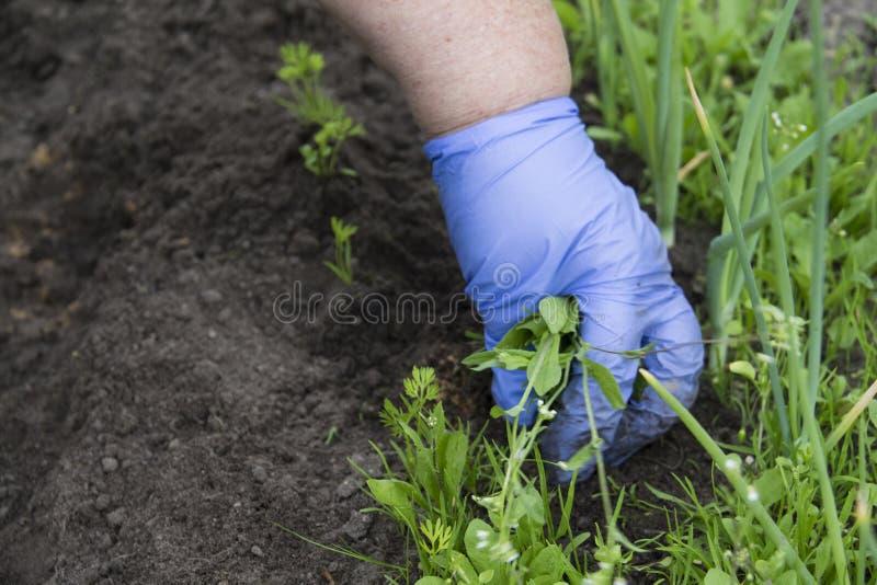 A grama de remoção de ervas daninhas de jardinagem fêmea das plantas nas camas vegetais da cebola e da cenoura fecha-se acima Rem imagem de stock