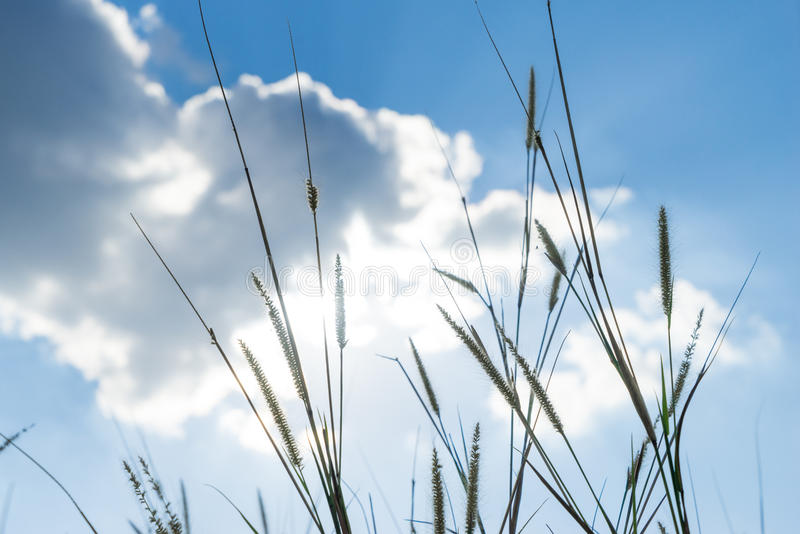 Grama do Lemma essa luz do sol que brilha atrás com azul brilhante SK imagem de stock royalty free