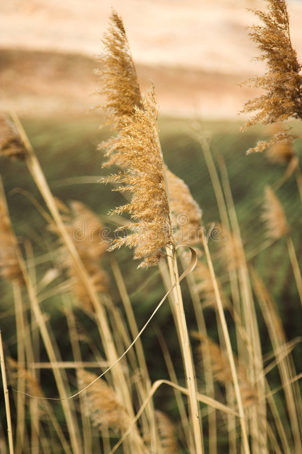 Grama do trigo que funde na vitória fotos de stock