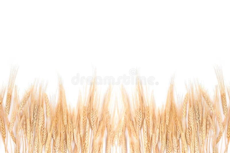 Grama do trigo que limita em um fundo branco imagens de stock royalty free