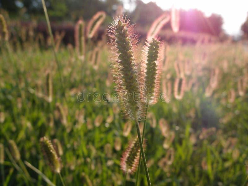 Grama dos viridis do Setaria no brilho do por do sol imagem de stock