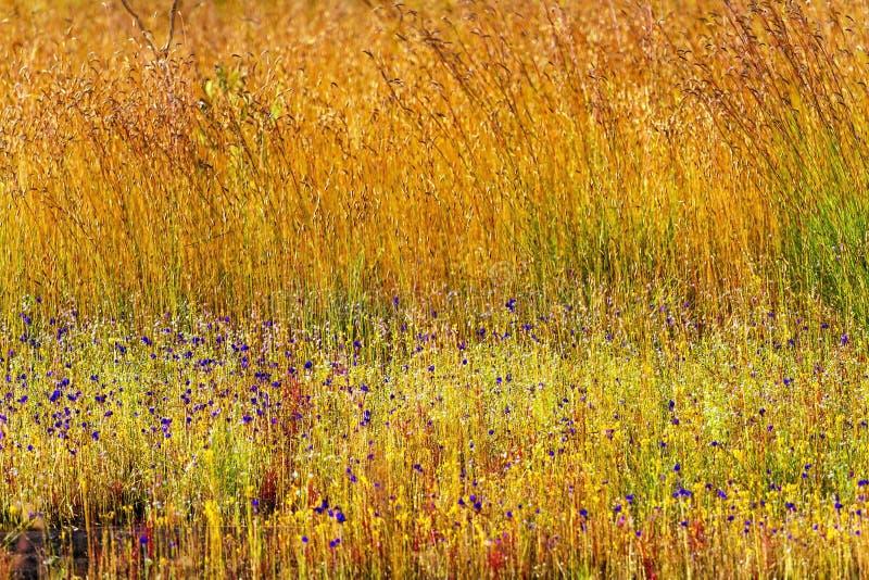 Grama dourada do campo da mistura da flor dos delphinoides do Utricularia foto de stock royalty free