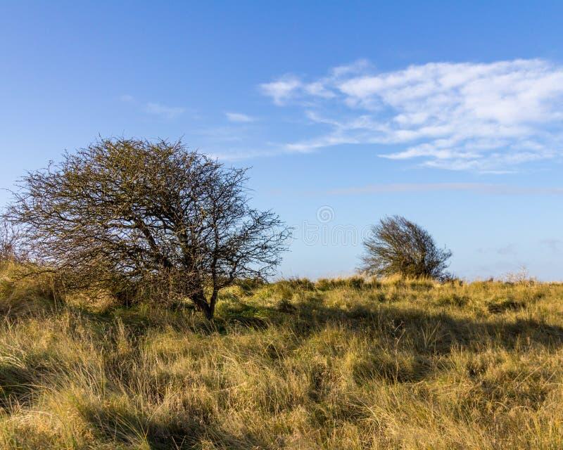 Grama e árvores Windswept perto de Donna Nook Nature Reserve imagem de stock royalty free