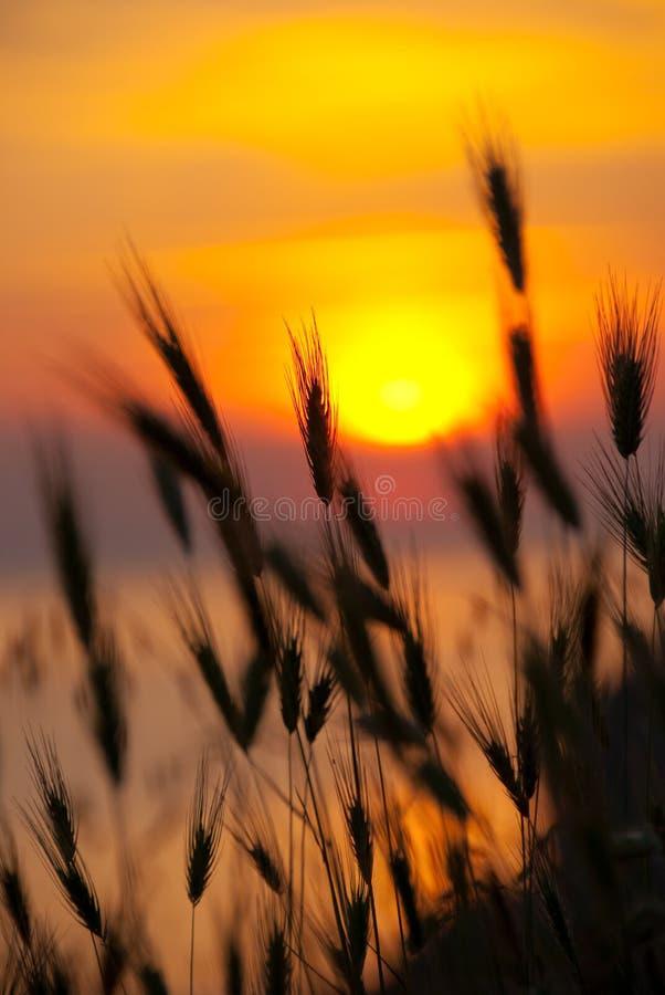 Grama em um fundo do por do sol do verão imagem de stock royalty free
