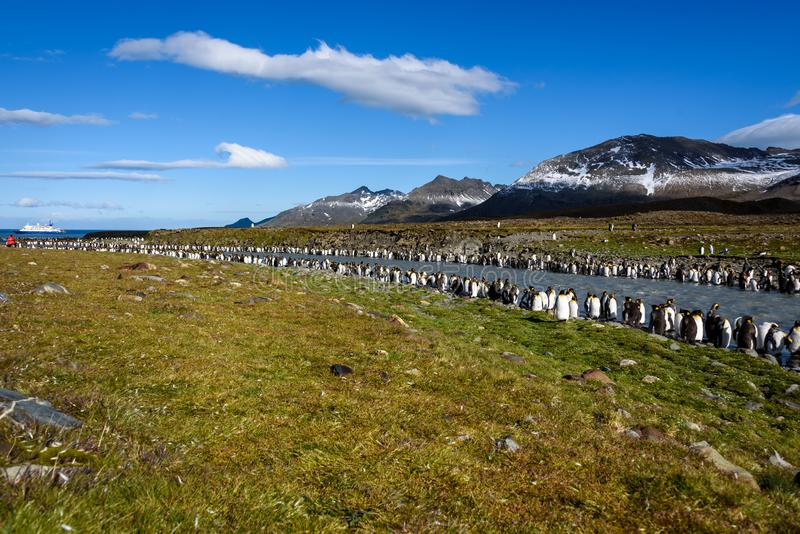 Grama ensolarada bonita a paisagem coberta com grande colônia do rei Penguin, posição dos pinguins nos sedimentos encheu o rio imagens de stock royalty free