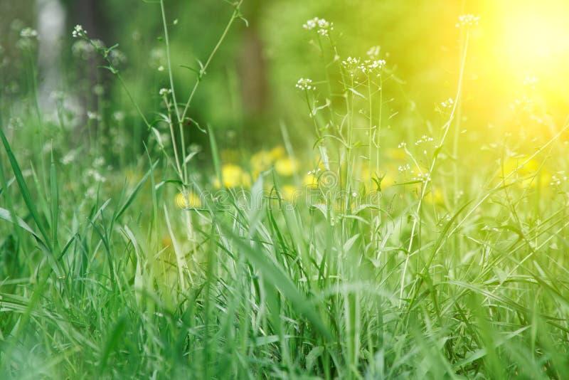 Grama fresca com fim acima das flores da haste e do campo foto de stock