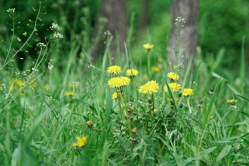 Grama fresca com fim acima das flores da haste e do campo foto de stock royalty free