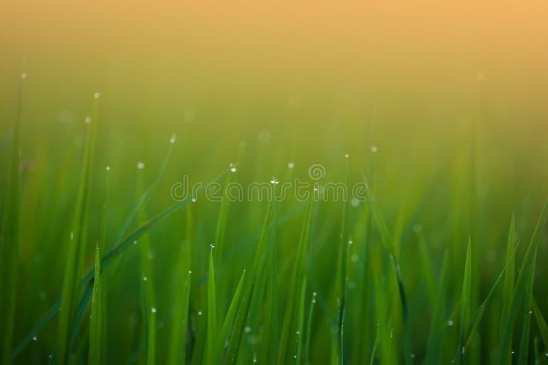 Grama Grama verde fresca da mola com o close up das gotas de orvalho Focu macio imagem de stock royalty free