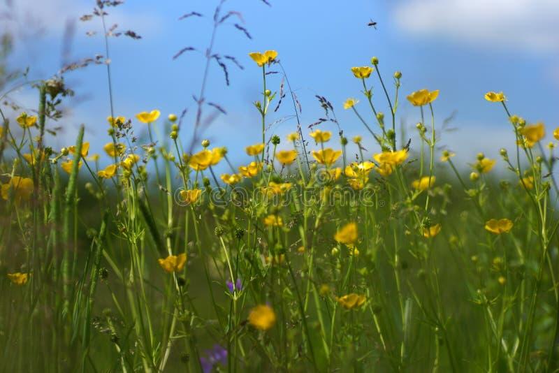 A grama iluminou-se por ensolarados morno em um prado do verão, fundos naturais do sumário para seu projeto  imagem de stock royalty free