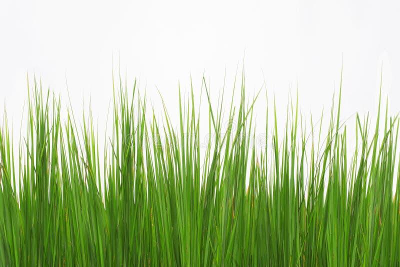 Grama longa verde isolada no fundo branco fotos de stock