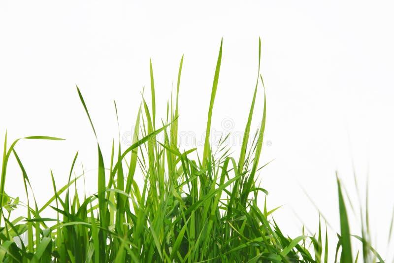 Grama longa verde isolada no fundo branco imagens de stock