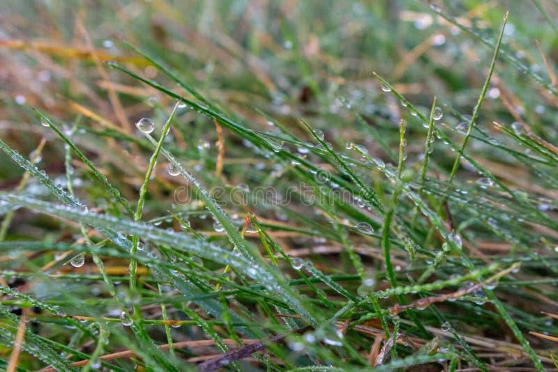 Grama molhada com fim do orvalho acima Prado ap?s a chuva A grama verde com água deixa cair macro Conceito do frescor e da pureza fotografia de stock