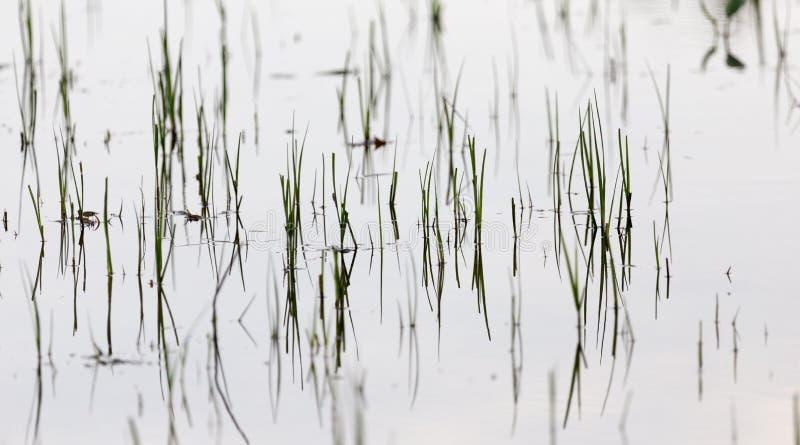 Grama na água no por do sol fotos de stock