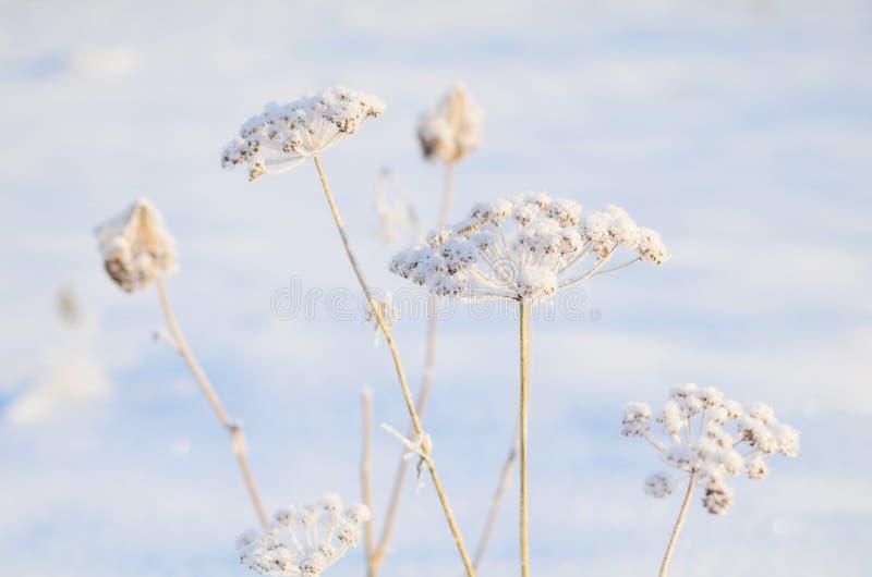 Grama nevado na manhã gelado imagens de stock royalty free