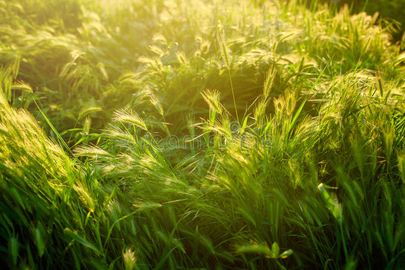 Grama no sol Fundo defocused abstrato verde e azul da natureza de Eco com luz do sol fotos de stock royalty free
