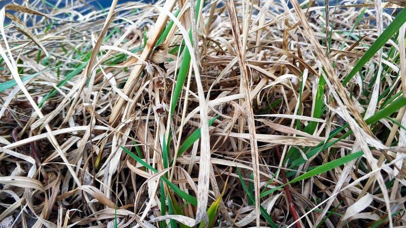 Grama nova e seca perto do close up do lago foto de stock