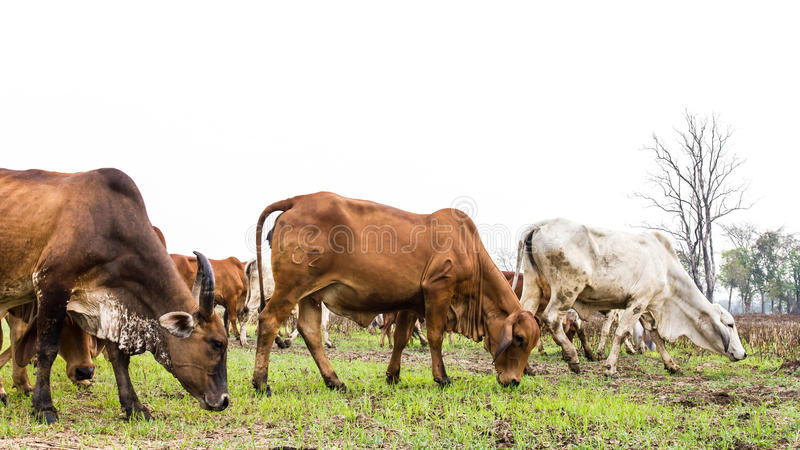 Grama preta da vaca fotografia de stock