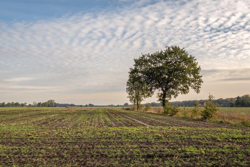 Grama recentemente semeada em um grande campo com restolho do milho Duas árvores são visíveis como silhuetas contra o céu azul co imagens de stock royalty free