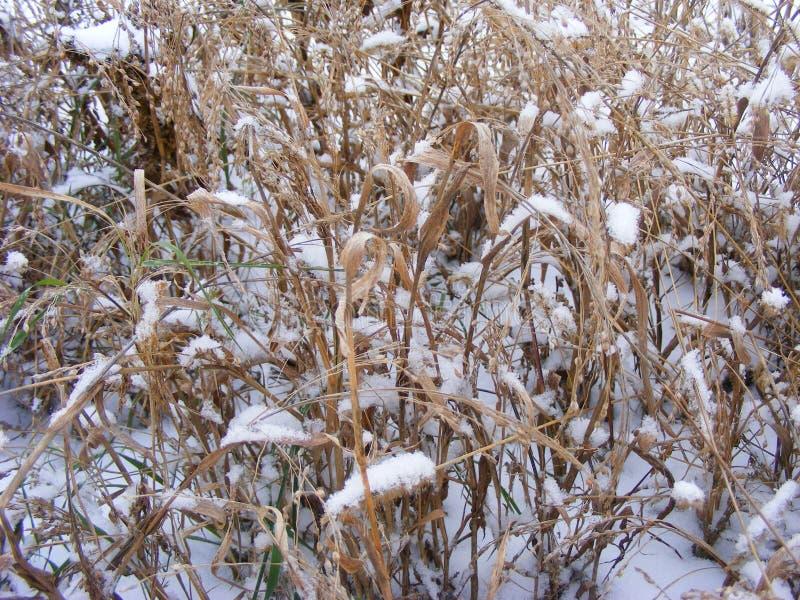 Grama seca da cevada, da aveia ou do trigo no campo do inverno fotografia de stock royalty free