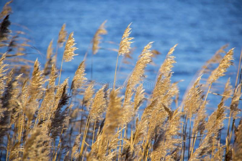 A grama seca do Cattail cobre no rio na paisagem do inverno da neve fotos de stock royalty free