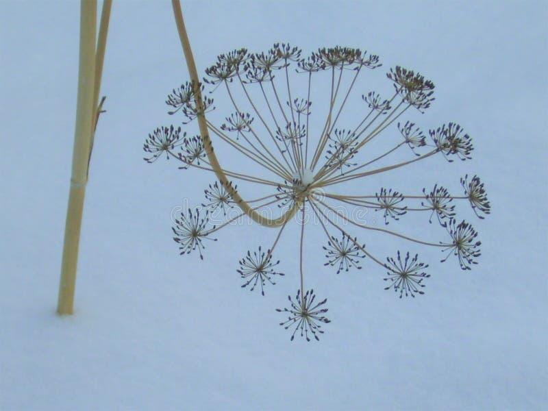 Grama seca nos graveolens do Anethum da neve fotos de stock